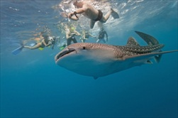 Cancun | Mexico | whale shark cancun whale shark swim guided snorkeling tour cancun snorkeling cancun
