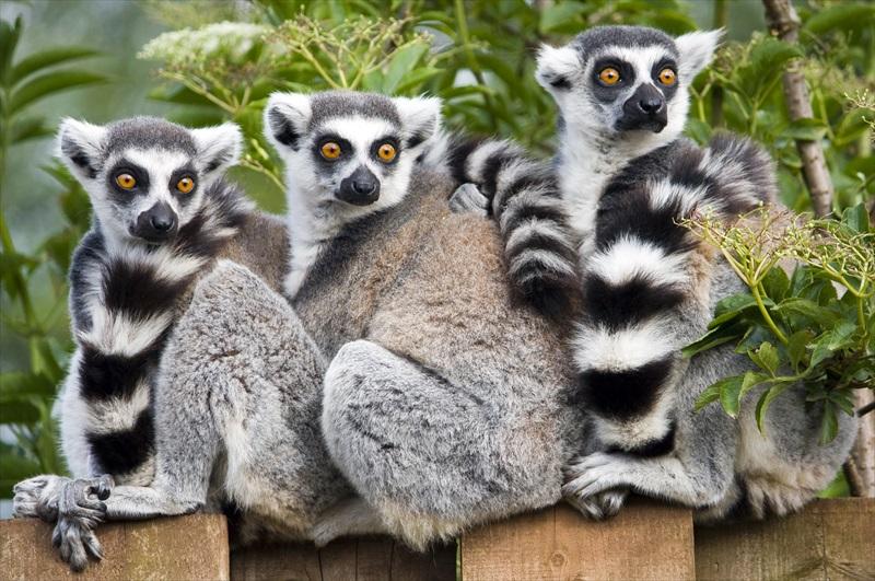 Lemur Experience at Jungle Island - Miami   TourSales