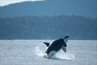 Photo of Seattle | San Juan Islands Whale Watching from Friday Harbor (High Season)
