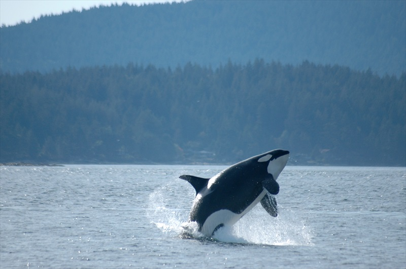 San Juan Islands Whale Watching From Friday Harbor High
