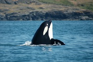 Photo of Seattle | San Juan Islands Whale Watching from Friday Harbor (Low Season)